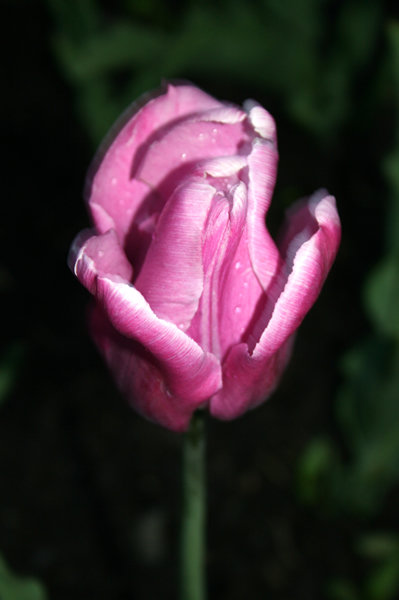 Lilac tulip, Tulip Festival, May, 16, 2009