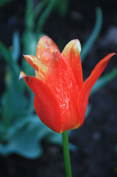 Dew on red tulip, Tulip Festival, May, 16, 2009