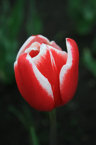 Red and white tulip, Tulip Festival, May, 16, 2009
