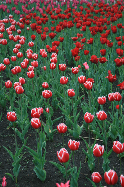Red and white field, Tulip Festival, May, 16, 2009