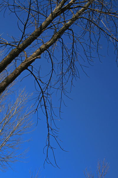 Black and Blue Trees and Sky, March 30, 2011