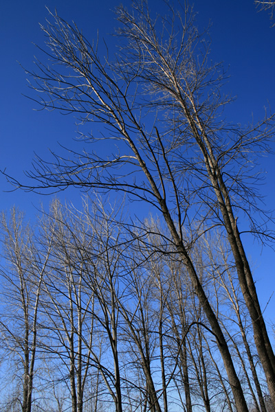 Slanted Trees, March 30, 2011