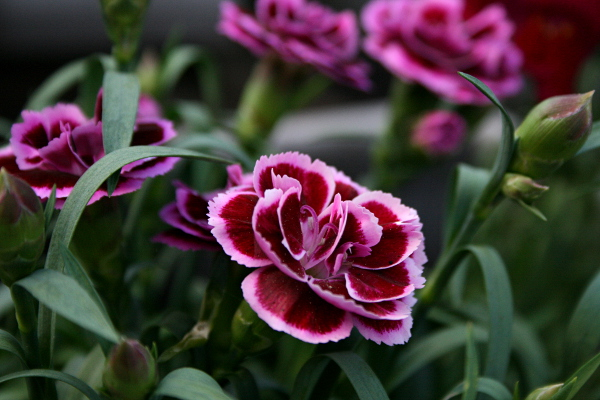 Carnation purple, May 15, 2013, med