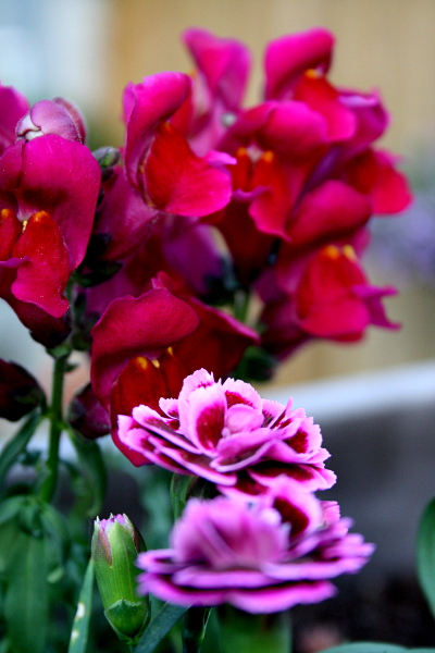 Garden purples, March 15, 2013, med