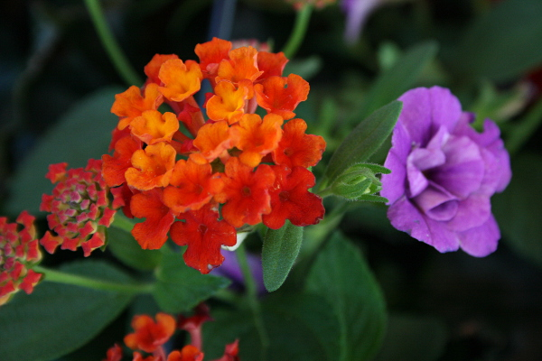 Orange and Purple Blooms, May 17, 2013, med