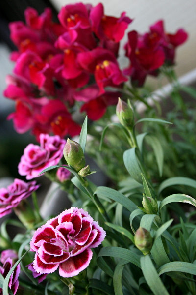 Snapdragons and carnations, May 15, 2013, med
