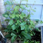 Aside, Comfrey, grape vine 2, and Day lilies, day 14, md