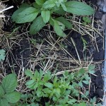 Aside, borage and lovage, day 24, md