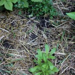 Aside, calendula and watercress, day 14, md