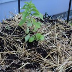 Tower1, Stevia, day 14, md