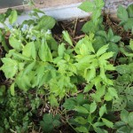 Aside, borage and lovage, day 38, md