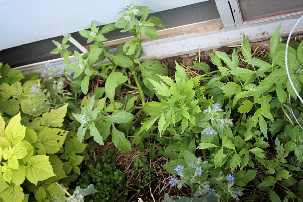 Aside, borage and lovage, day 51, md