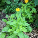 Aside, calendula and watercress, day 38, md