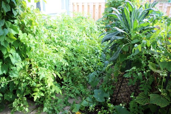 garden in the sun, kale, md