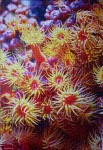 Colony of Sea Anemones, med