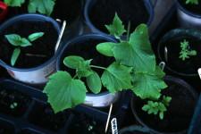 Cucumber, pepper, kale seedlings 600