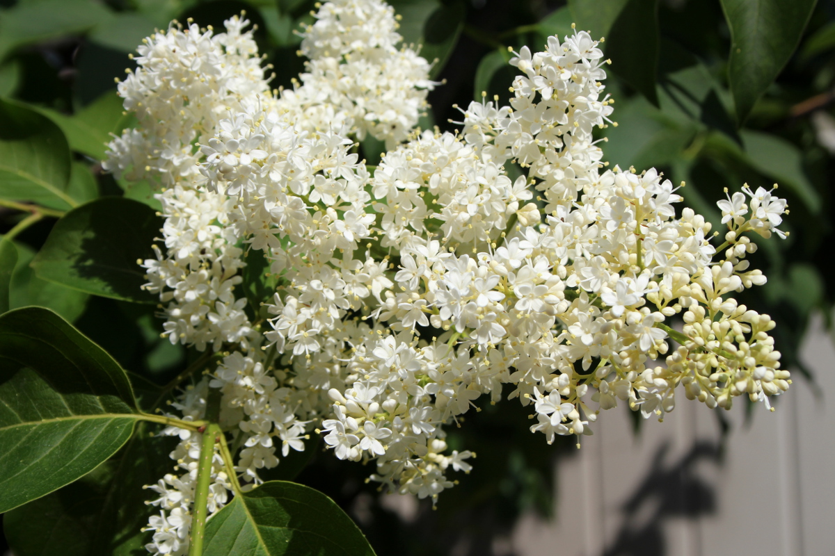 Japanese lilac 1200