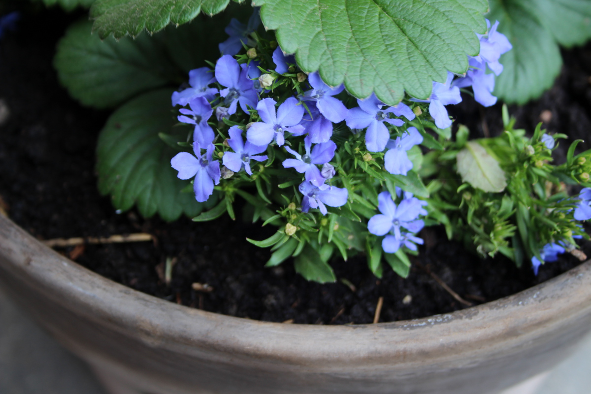 Strawberry lobelia pot, closeup 1200