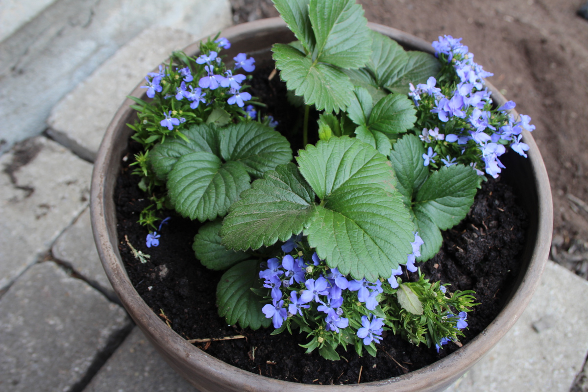 Strawberry lobelia pot, planted 1200