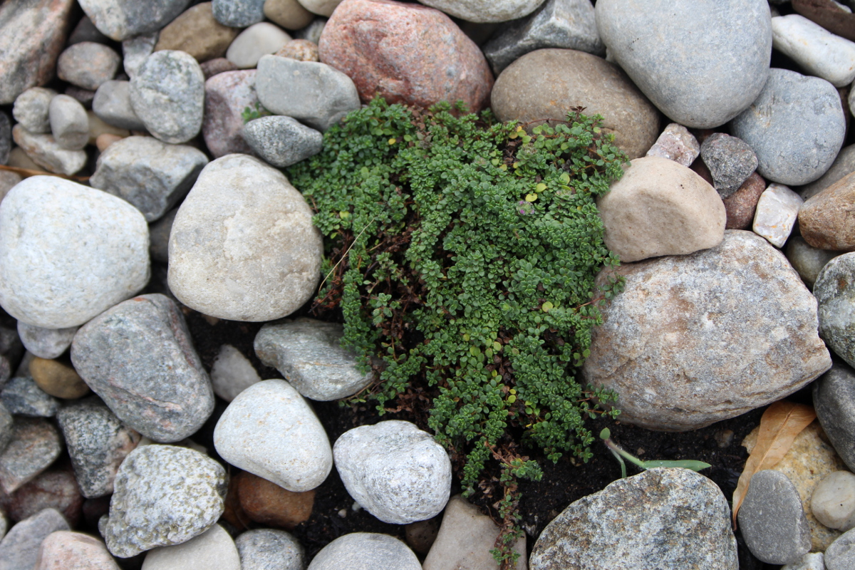 Thyme between rocks 1200
