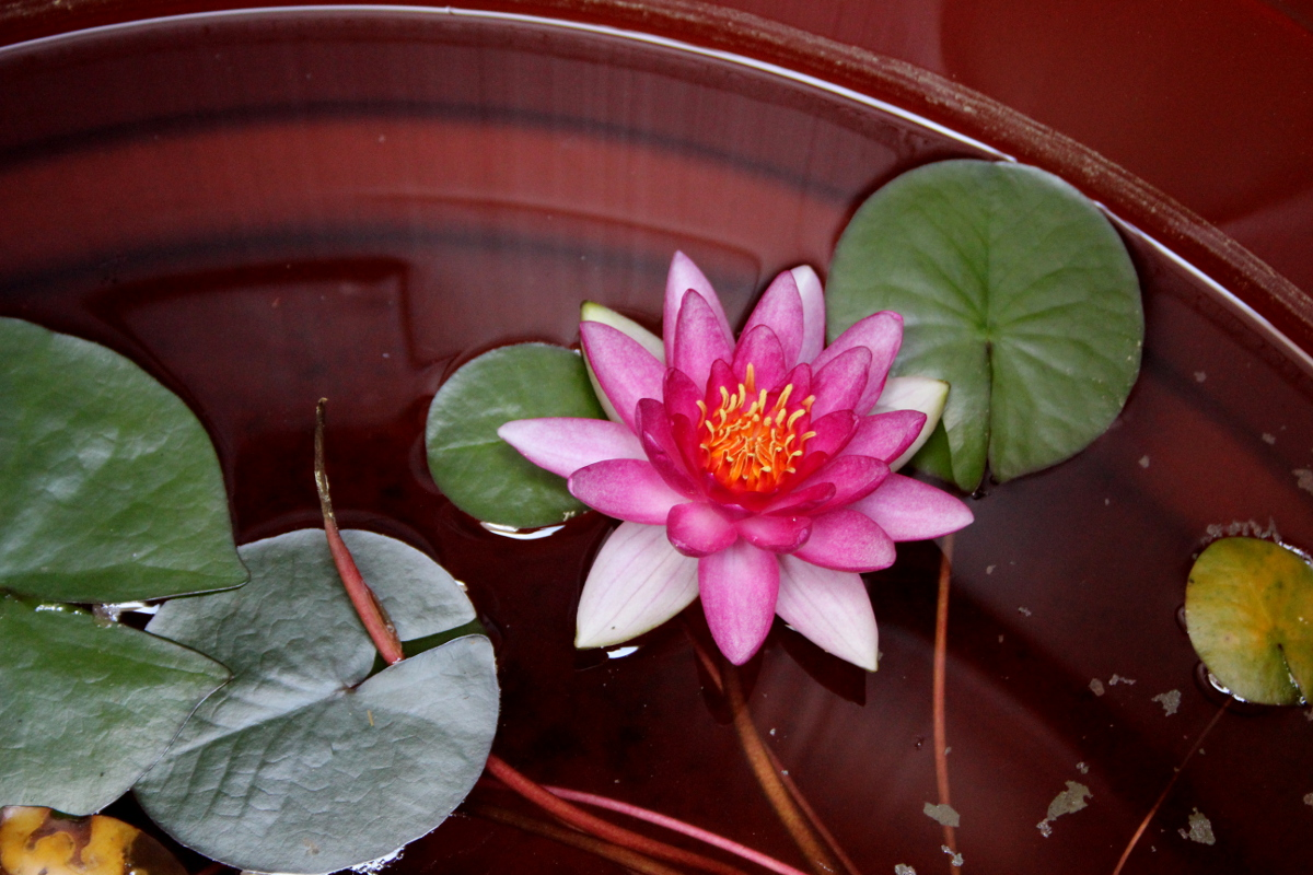 Water lily in rain barrel 1200