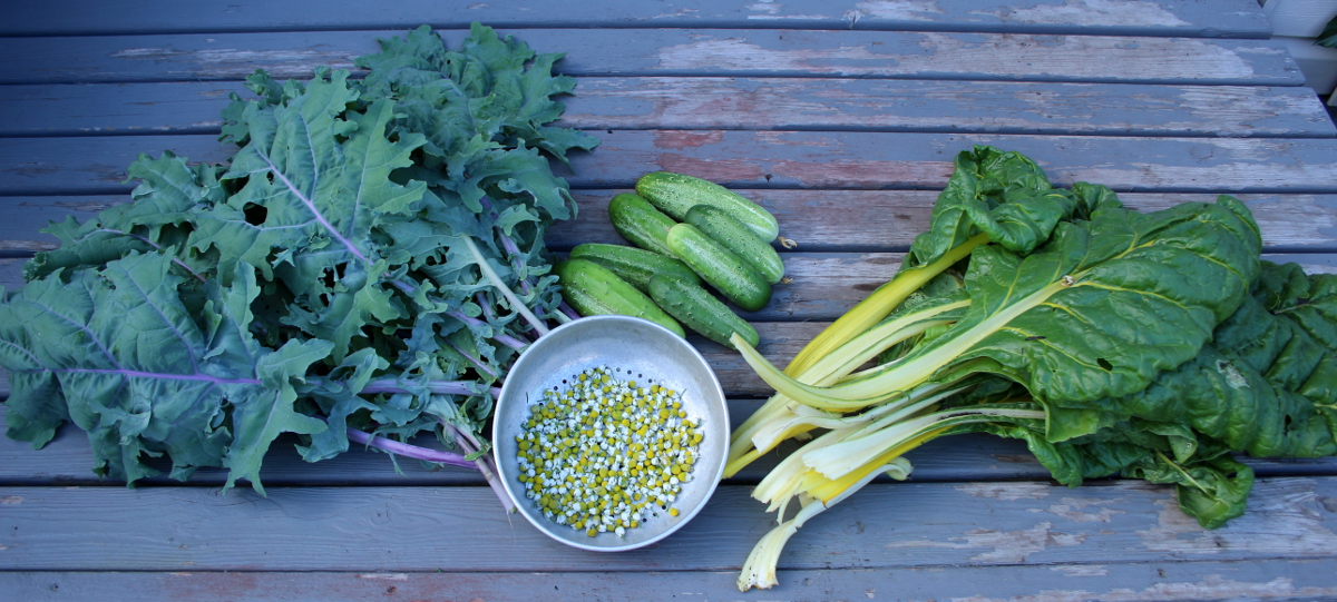 Harvest July 27 - kale, cucumbers, yellow chard, chamomile, md