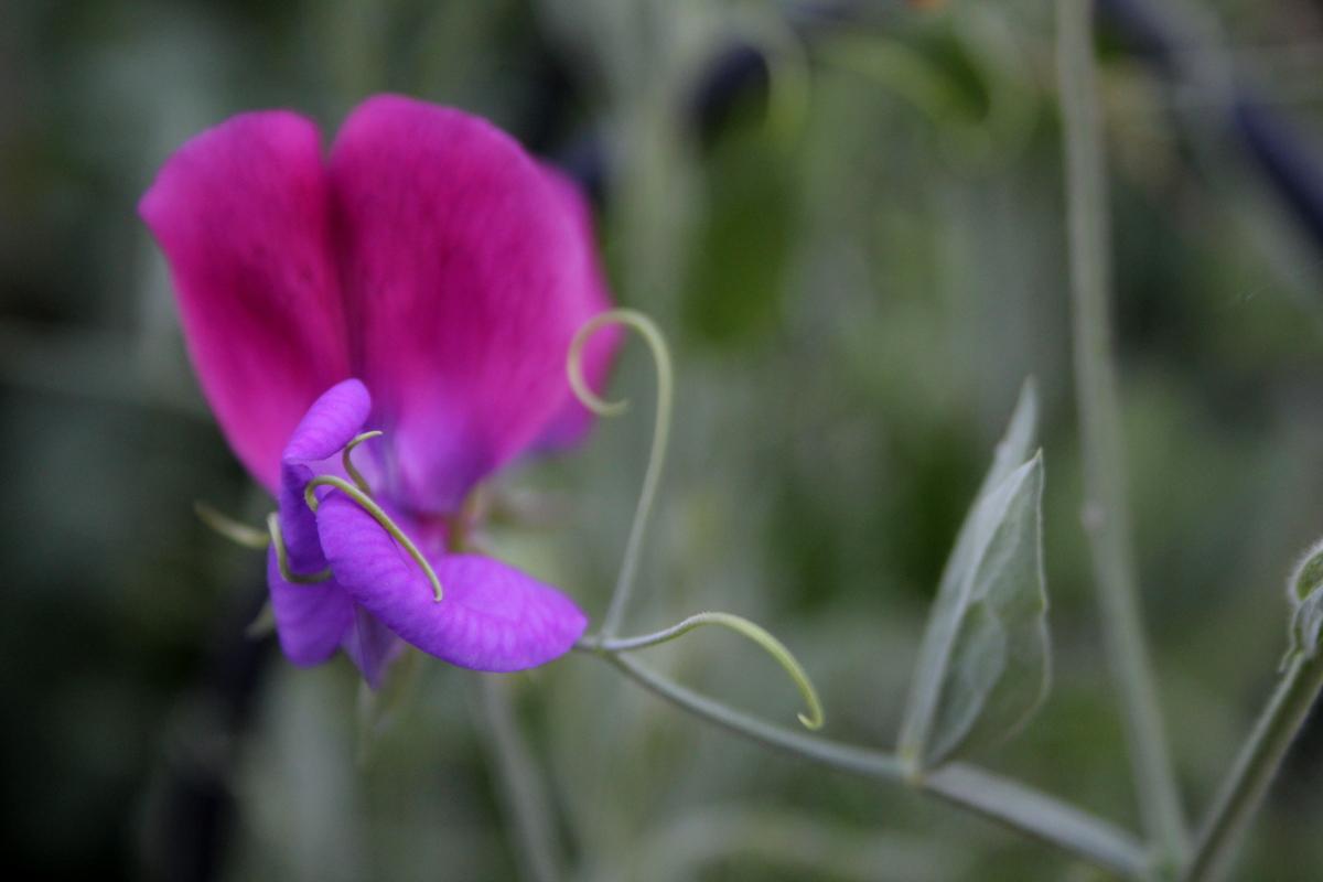 bloomingSweetPeas1200