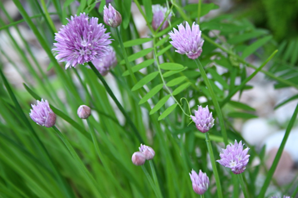 Chives 600