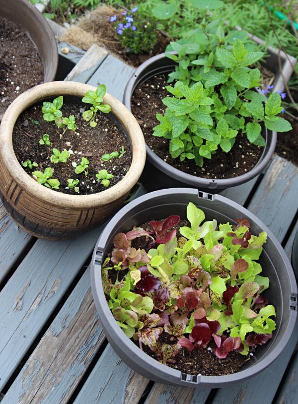 Pots with mint, basil, lettuce 600